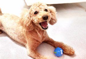 小型犬の特徴 チワワ