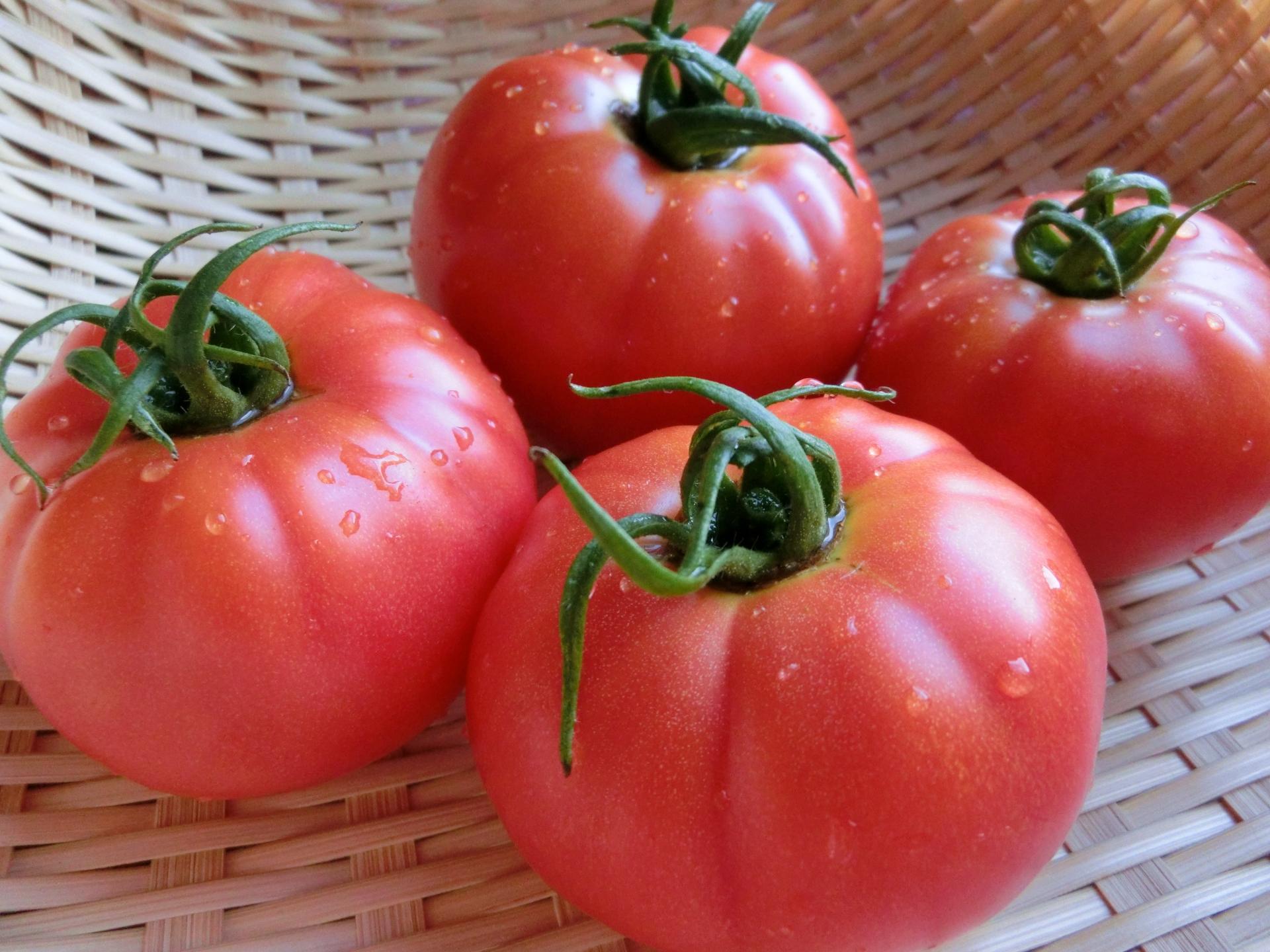 トマトの収穫時期と収穫方法