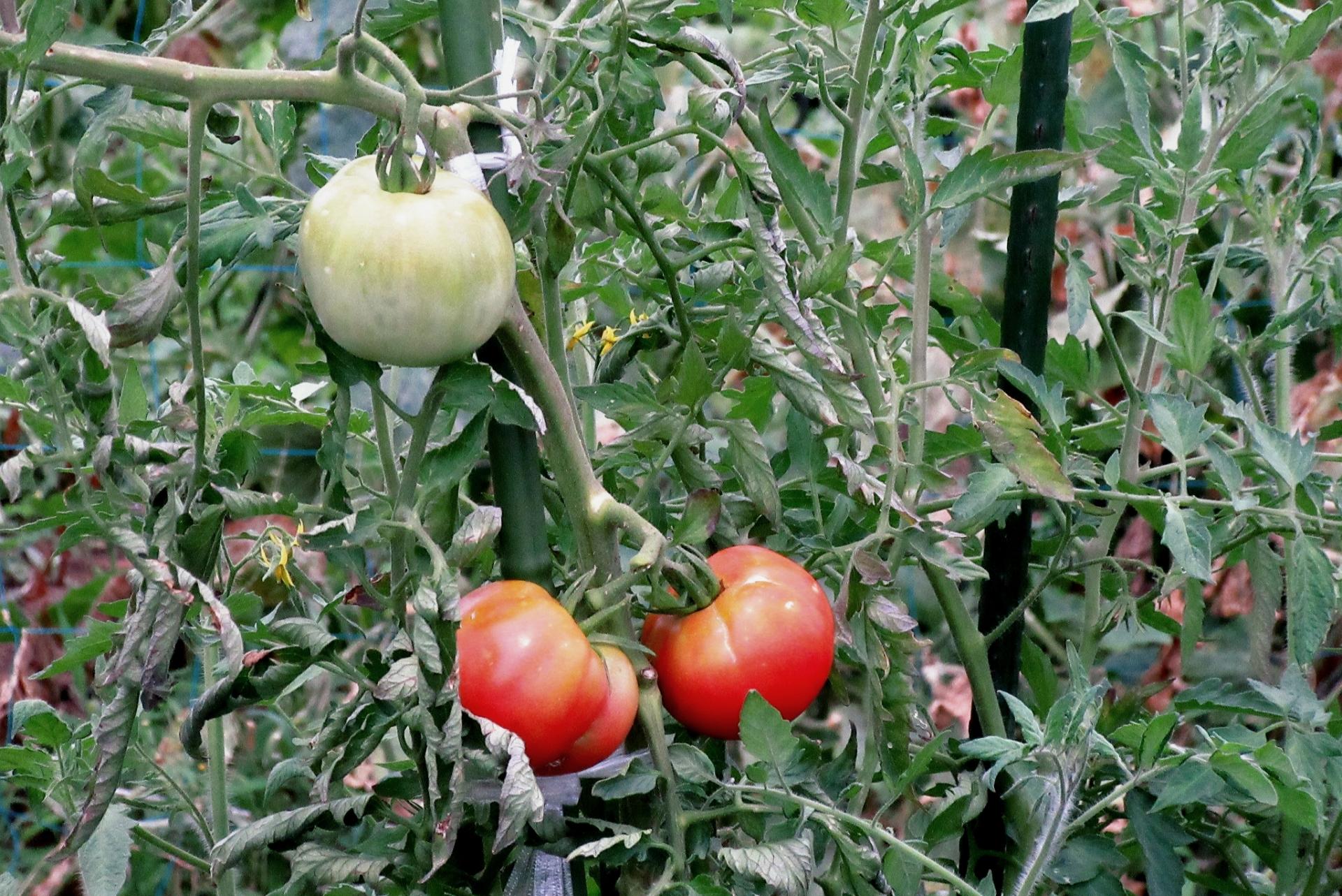 トマトの栽培管理