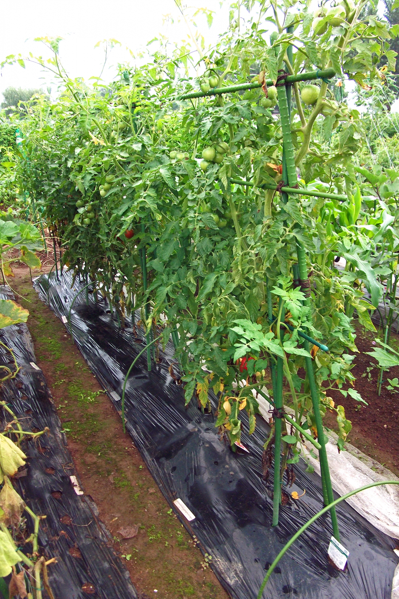 トマトの定植適期